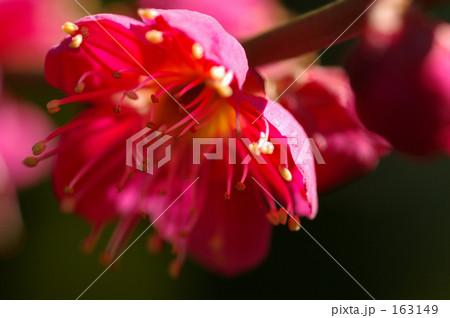 赤ピンクの梅 163149