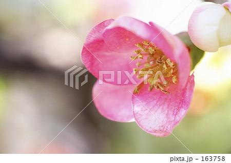 白ピンクの木瓜の花 163758
