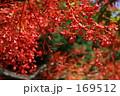 Illawara flame tree  169512