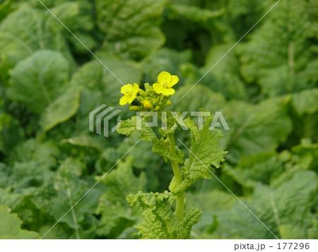 菜の花 177296