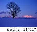 夕雲と哲学の木 184117