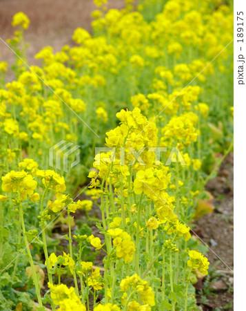 菜の花畑 189175