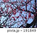 梅の花2 191849