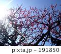 梅の花 191850