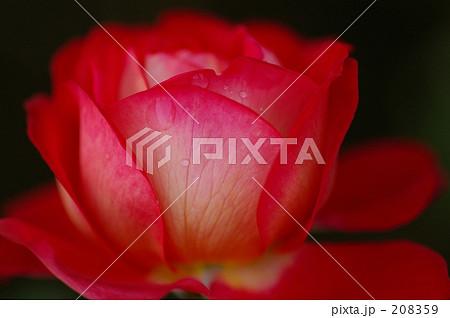 赤いバラ 水滴つき 208359