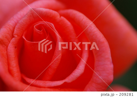 オレンジピンクのバラ 209281