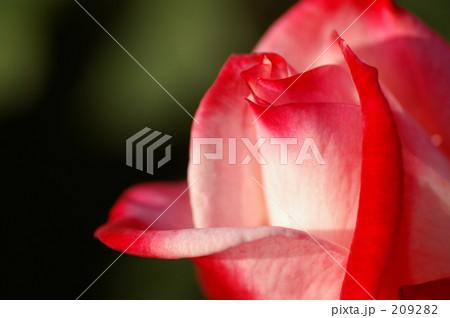 赤白の薔薇 209282