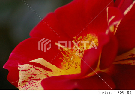 赤斑の薔薇 209284