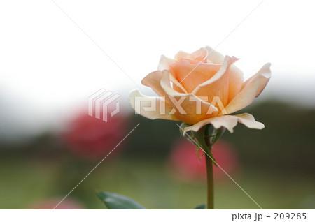 オレンジクリーム色の薔薇 209285
