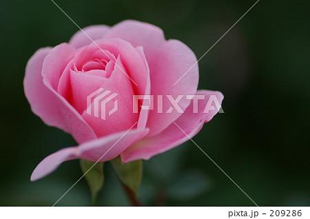 ピンクのバラ 209286