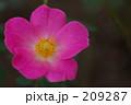 ピンクのかわいい薔薇 209287