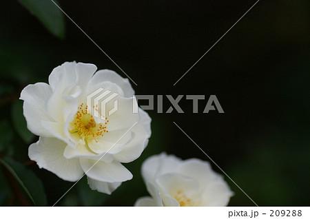 白いバラ 209288