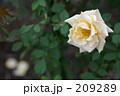 クリーム色のバラと落ちた花びら 209289