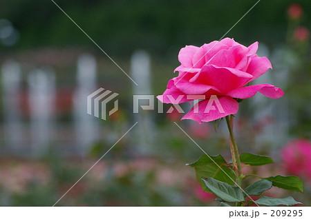 ピンクの薔薇のある光景 209295