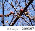 桜のつぼみ 209397