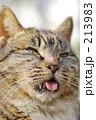 舌出し しましま猫 アップ 213983