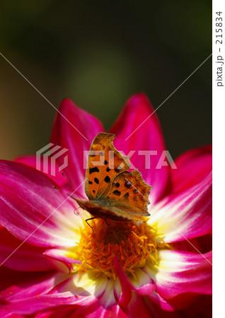 蝶と赤紫の花 215834