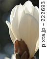 モクレン 木蓮 もくれんの写真 222693