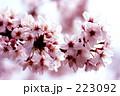 桜 223092