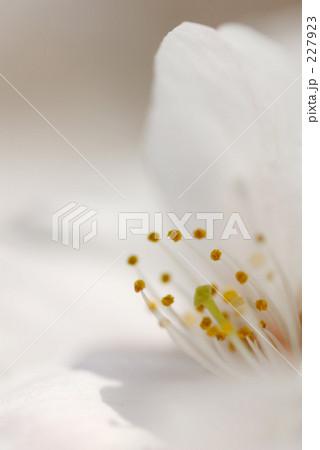 一輪の白桜 超アップ 227923