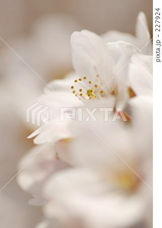 白桜 アップ 227924