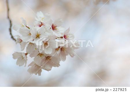 ひとたばの白桜 227925
