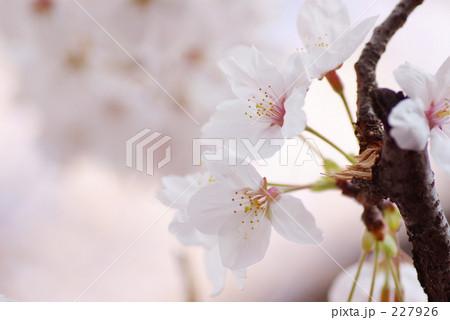 白桜の枝 227926