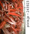 垣根の葉っぱ01 243923