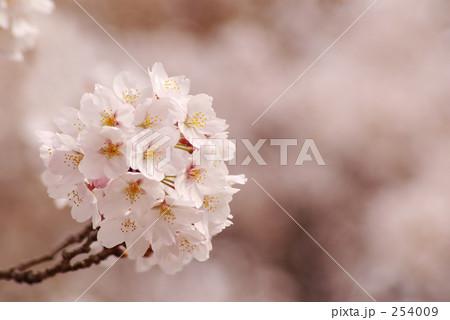 一輪の桜 254009