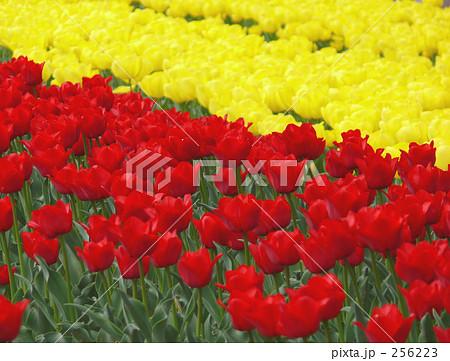 チューリップ赤と黄 256223