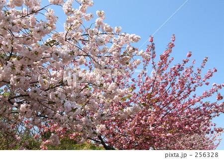八重桜 紅白の花 256328