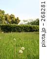 たんぽぽと芝生1 268281