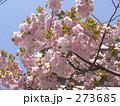 八重桜 273685