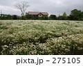 カモミール畑 275105
