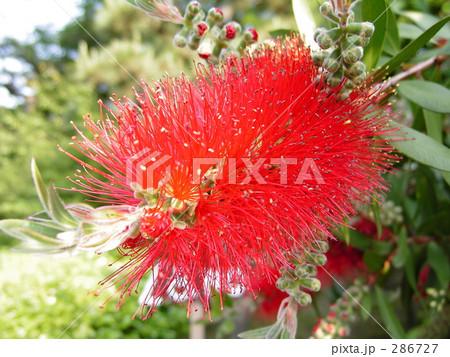 赤いゲジゲジの植物 (2) 286727