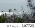海風にそよぐハマダイコン 307725