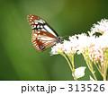 アサギマダラ 313526