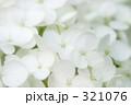 白い紫陽花 321076