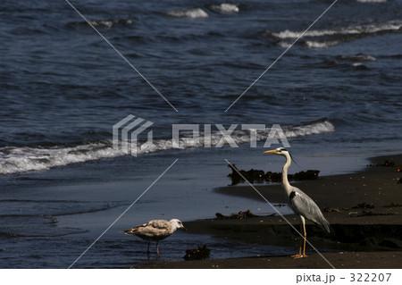 海辺の青サギ 322207