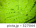 オウゴチョウ(黄胡蝶) 327044