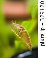 ハエトリグサ - 食虫植物 329120