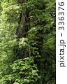 ツタ ヒノキ 木の写真 336376