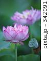 古代蓮 蓮の花 古代ハスの写真 342091