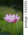 古代蓮 蓮の花 古代ハスの写真 342092