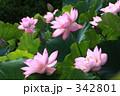 大賀蓮 342801