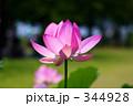 蓮の花 344928