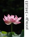 蓮の花 古代蓮 ハスの写真 346183