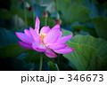 蓮の花 346673
