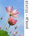 ハス 古代蓮 蓮の花の写真 351418