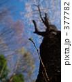 桜の新芽 377782